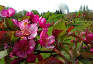 Gardens and grounds: Malus (Ornamental Crab Apple).