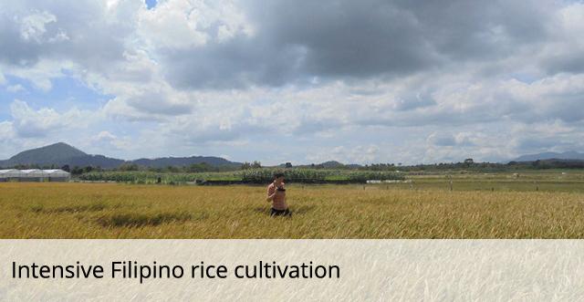 Filipino intensive rice cultivation