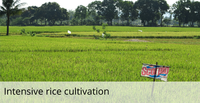 Intensive rice cultivation